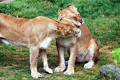 lion_love_pic