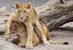 lions_jpg