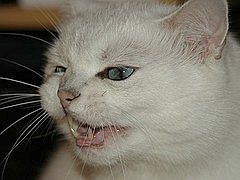 angry_kitty_pic
